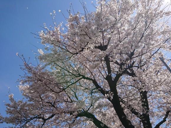 4/5  東京の桜2019@大昌寺 (日野市)_b0042308_14472102.jpg