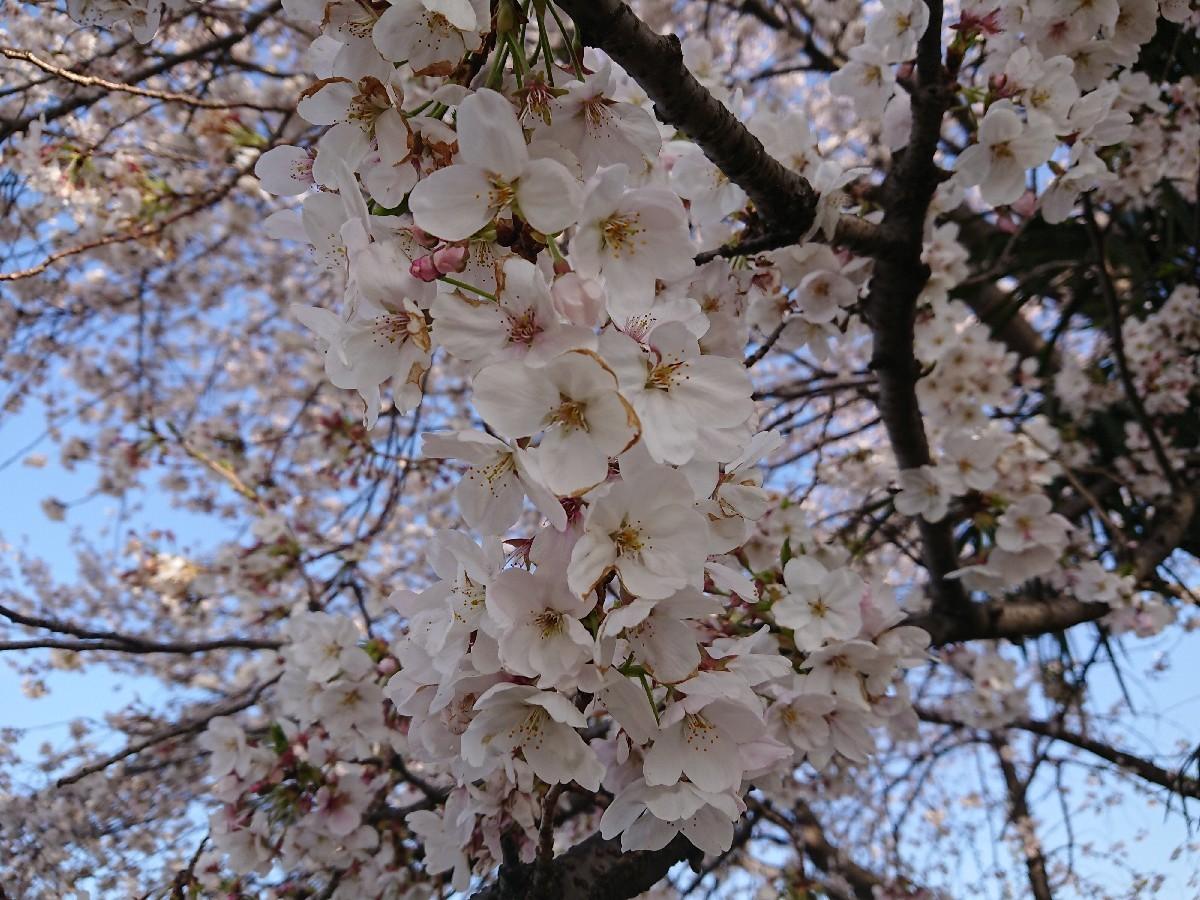 4/5  東京の桜2019Vol.2 @万願寺歩道橋(浅川ふれあい橋)_b0042308_15545609.jpg