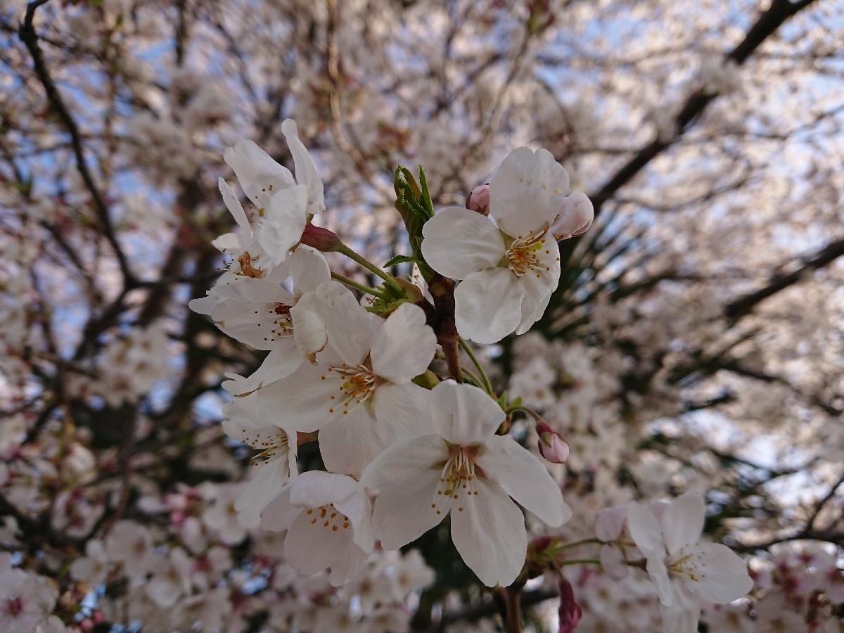 4/5  東京の桜2019Vol.2 @万願寺歩道橋(浅川ふれあい橋)_b0042308_15545673.jpg