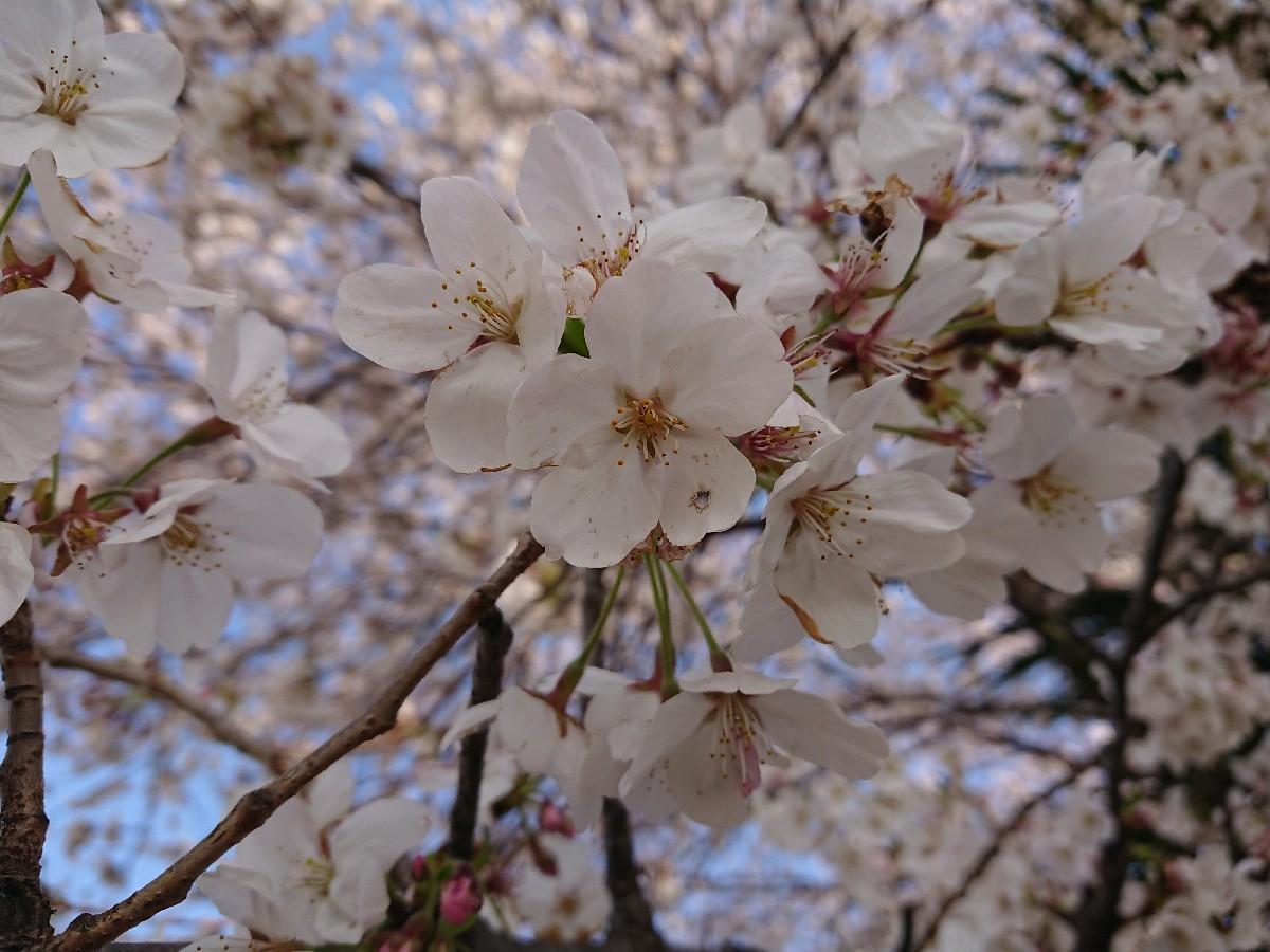 4/5  東京の桜2019Vol.2 @万願寺歩道橋(浅川ふれあい橋)_b0042308_15551031.jpg