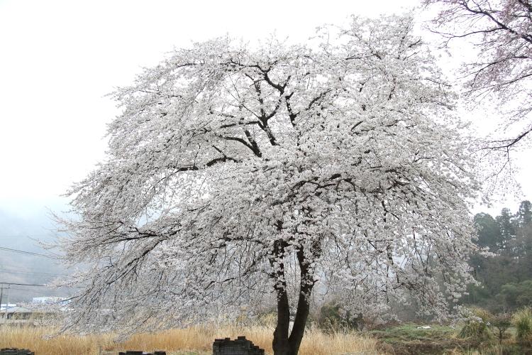 小さな山桜 - 2019年春・秩父鉄道 -_b0190710_20043932.jpg