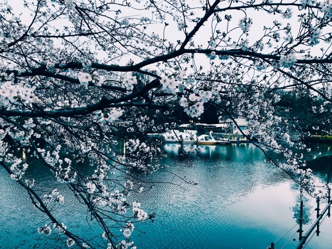【キナさんぽ】春爛漫・井の頭公園_f0115311_22072180.jpeg