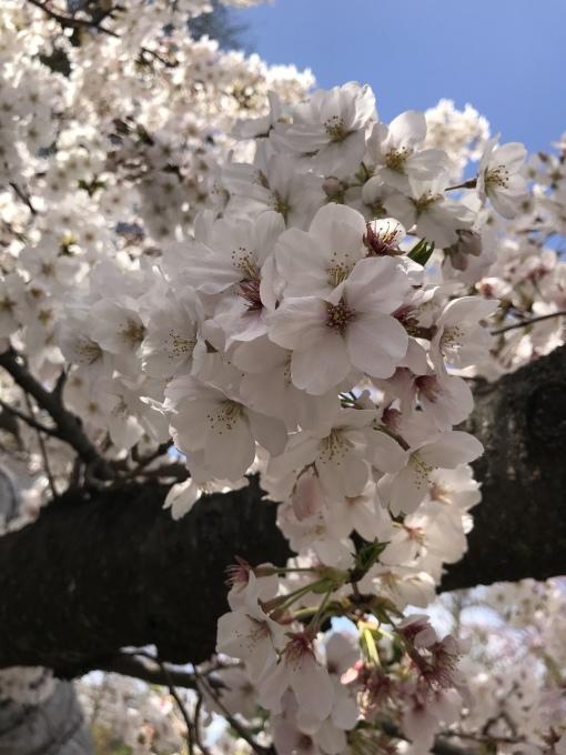 【キナさんぽ】春爛漫・井の頭公園_f0115311_22080846.jpeg
