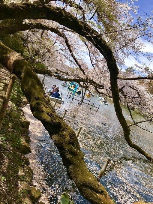 【キナさんぽ】春爛漫・井の頭公園_f0115311_22100529.jpeg