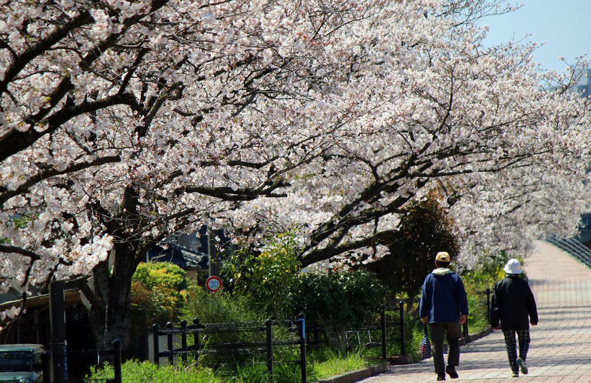 近くの桜。。。_b0044115_08480092.jpg
