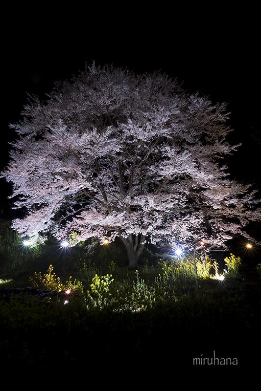 淡墨桜でちょっとお遊び露光間ズーム。_c0037519_14403416.jpg