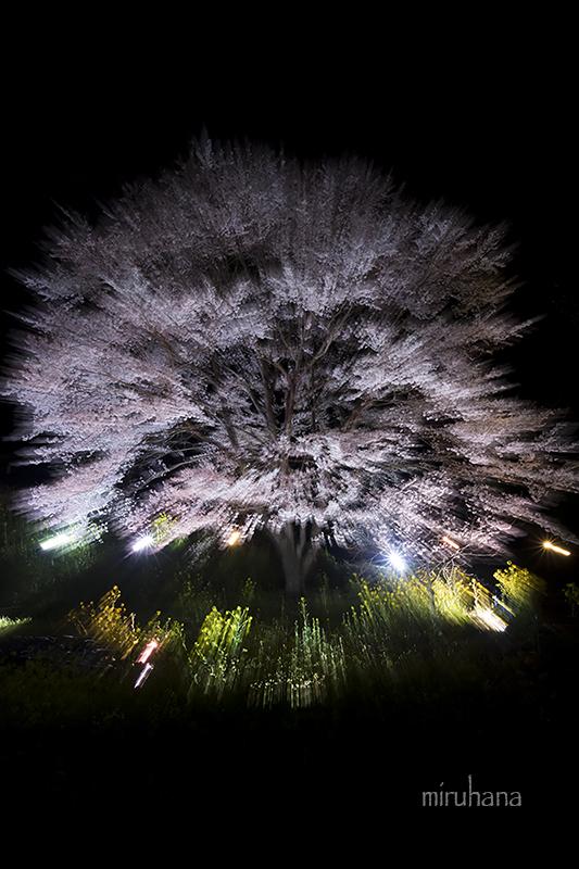 淡墨桜でちょっとお遊び露光間ズーム。_c0037519_14404791.jpg