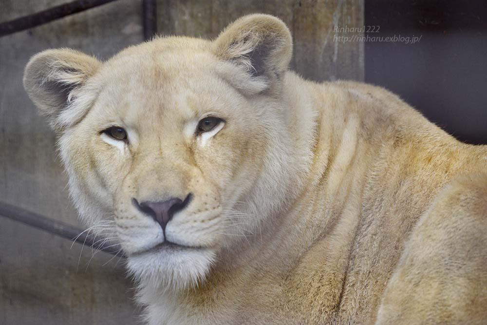 2019.3.3 宇都宮動物園☆ホワイトライオンのステルクとアルマル【White lion couple】_f0250322_22371122.jpg