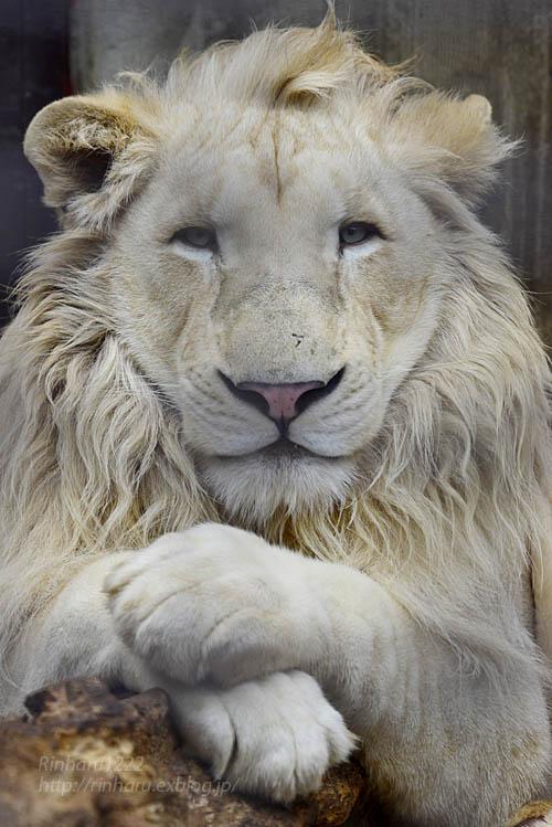 2019.3.3 宇都宮動物園☆ホワイトライオンのステルクとアルマル【White lion couple】_f0250322_22372065.jpg