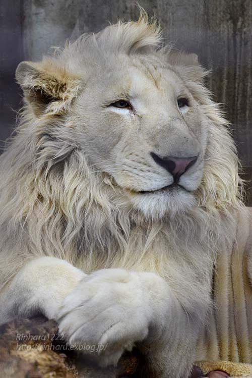 2019.3.3 宇都宮動物園☆ホワイトライオンのステルクとアルマル【White lion couple】_f0250322_22372629.jpg