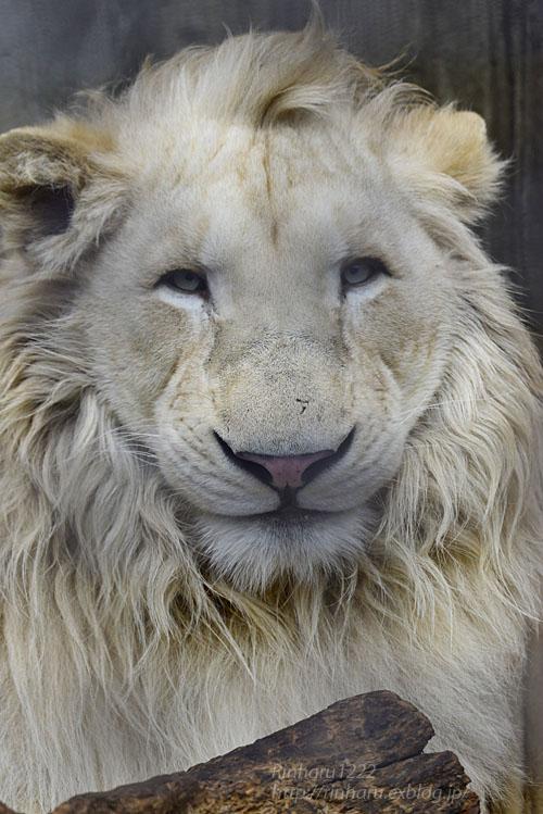 2019.3.3 宇都宮動物園☆ホワイトライオンのステルクとアルマル【White lion couple】_f0250322_22373268.jpg