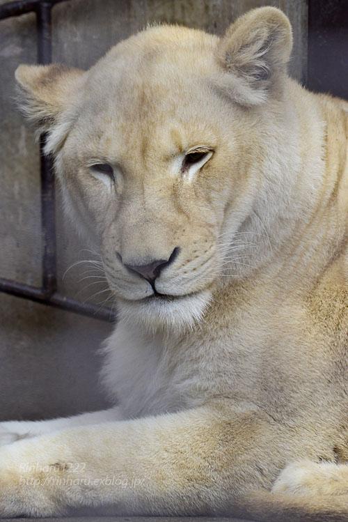 2019.3.3 宇都宮動物園☆ホワイトライオンのステルクとアルマル【White lion couple】_f0250322_22373853.jpg
