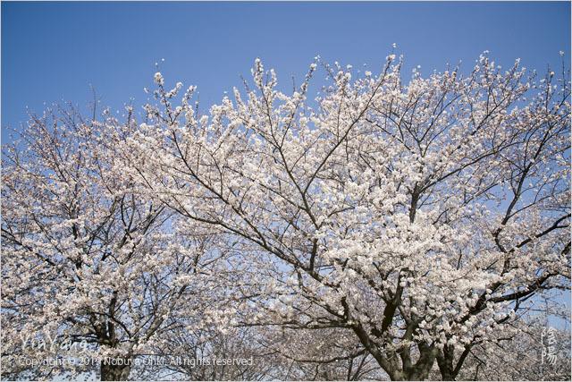平成最後の桜三景2、東京_e0139738_16473567.jpg