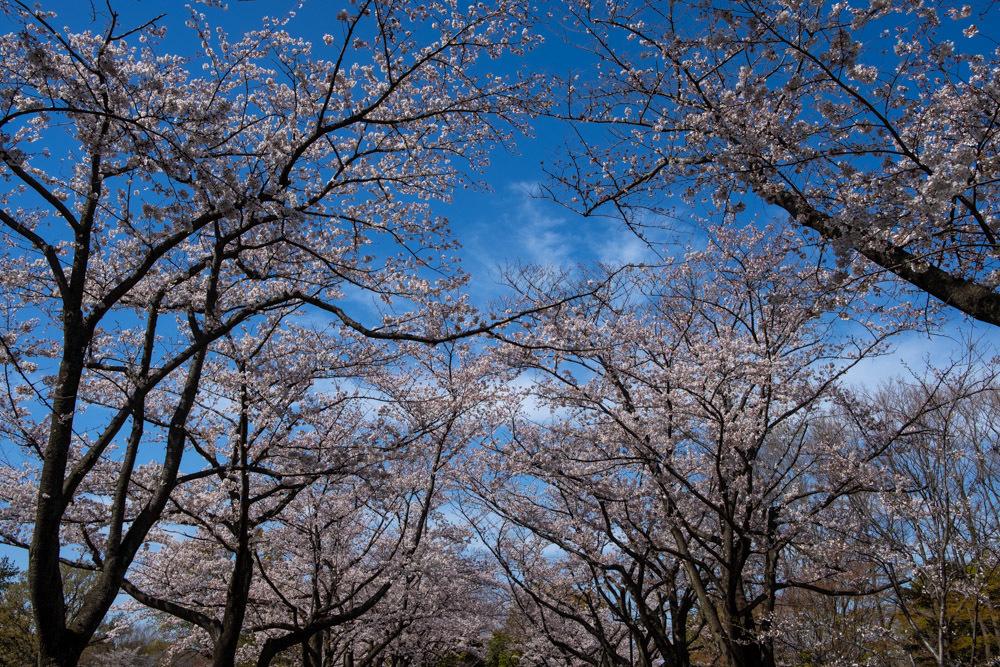 桜並木 満開_a0261169_23383905.jpg