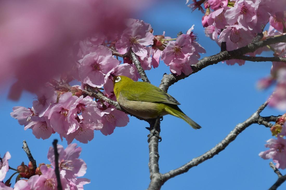 桜に メジロとジョウビタキ_f0053272_21450578.jpg