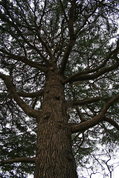 巨樹03_ヒマラヤスギ_d0016587_21572625.jpg
