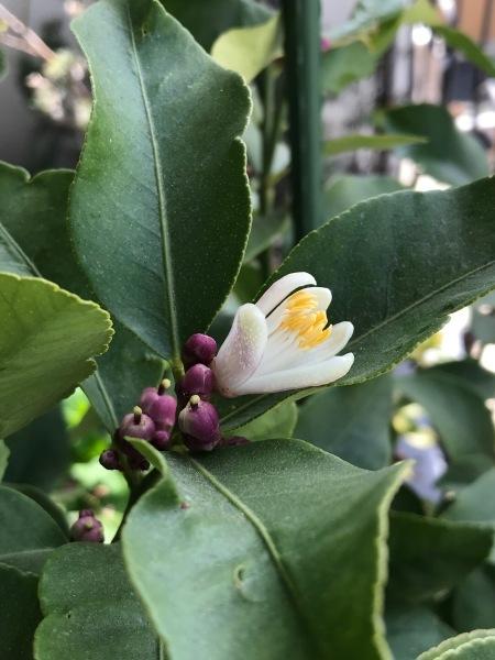 塩レモンを作ります、レモンの花が開きました。_e0397389_11060315.jpeg