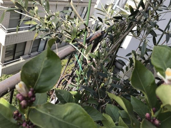 塩レモンを作ります、レモンの花が開きました。_e0397389_11061819.jpeg
