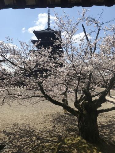 法隆寺の桜_f0018889_11395595.jpeg