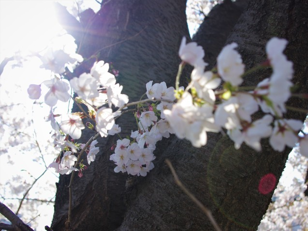 同じ桜を一眼レフで_e0167593_20590031.jpg