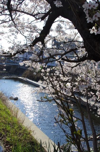 同じ桜を一眼レフで_e0167593_20590658.jpg