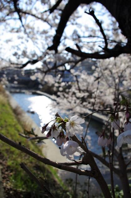 同じ桜を一眼レフで_e0167593_20591412.jpg