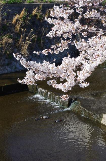 同じ桜を一眼レフで_e0167593_20594140.jpg
