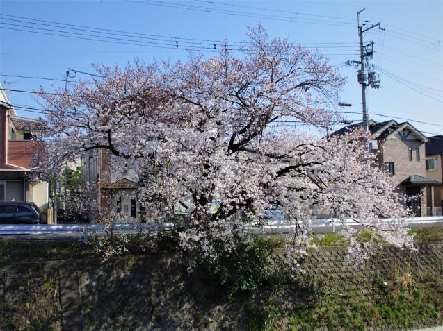 同じ桜を一眼レフで_e0167593_20595527.jpg