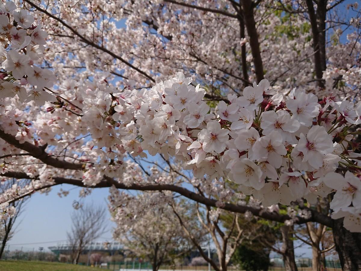 4/6  東京の桜2019 @都立武蔵野の森公園_b0042308_10481114.jpg