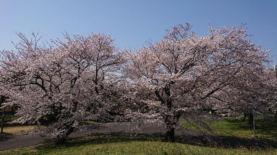 4/6  東京の桜2019 @都立武蔵野の森公園_b0042308_10481121.jpg