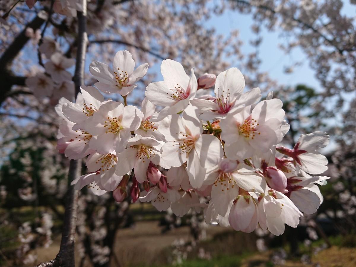 4/6  東京の桜2019 @都立武蔵野の森公園_b0042308_10481183.jpg