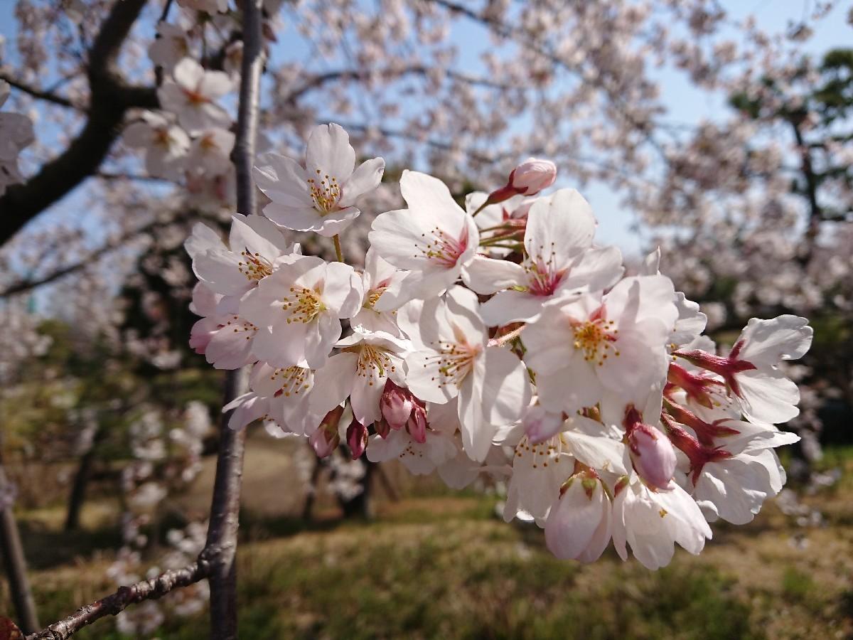 4/6  東京の桜2019 @都立武蔵野の森公園_b0042308_10510789.jpg