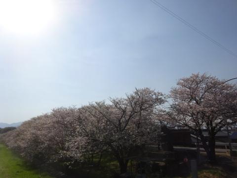 西条市 小松中央公園、吉田河原、久妙寺の桜巡り3分咲と追記で見頃の満開…2019/3/29_f0231709_22553704.jpg
