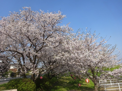 西条市 小松中央公園、吉田河原、久妙寺の桜巡り3分咲と追記で見頃の満開…2019/3/29_f0231709_22561117.jpg
