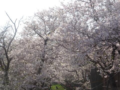 西条市 小松中央公園、吉田河原、久妙寺の桜巡り3分咲と追記で見頃の満開…2019/3/29_f0231709_22573567.jpg