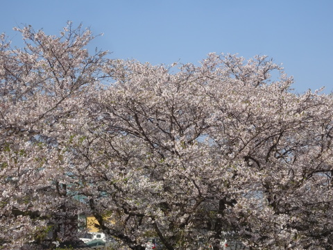 西条市 小松中央公園、吉田河原、久妙寺の桜巡り3分咲と追記で見頃の満開…2019/3/29_f0231709_22580432.jpg