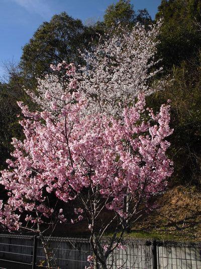 4/5 桜_a0154110_11415347.jpg