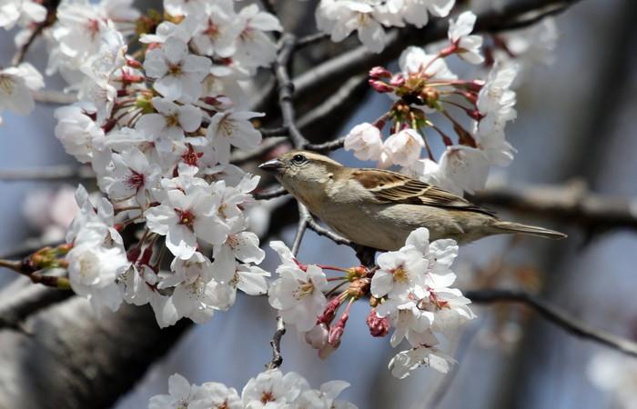 桜とニュウナイスズメ_f0239515_16503034.jpg