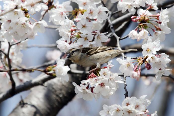 桜とニュウナイスズメ_f0239515_16505589.jpg