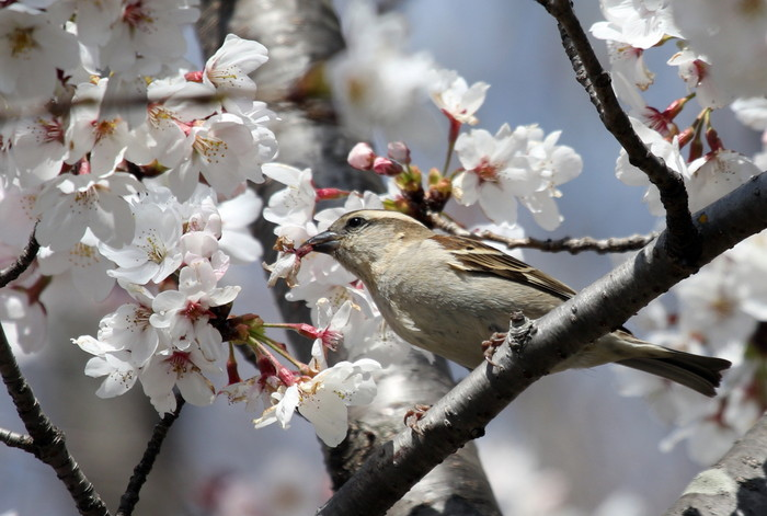 桜とニュウナイスズメ_f0239515_16511817.jpg