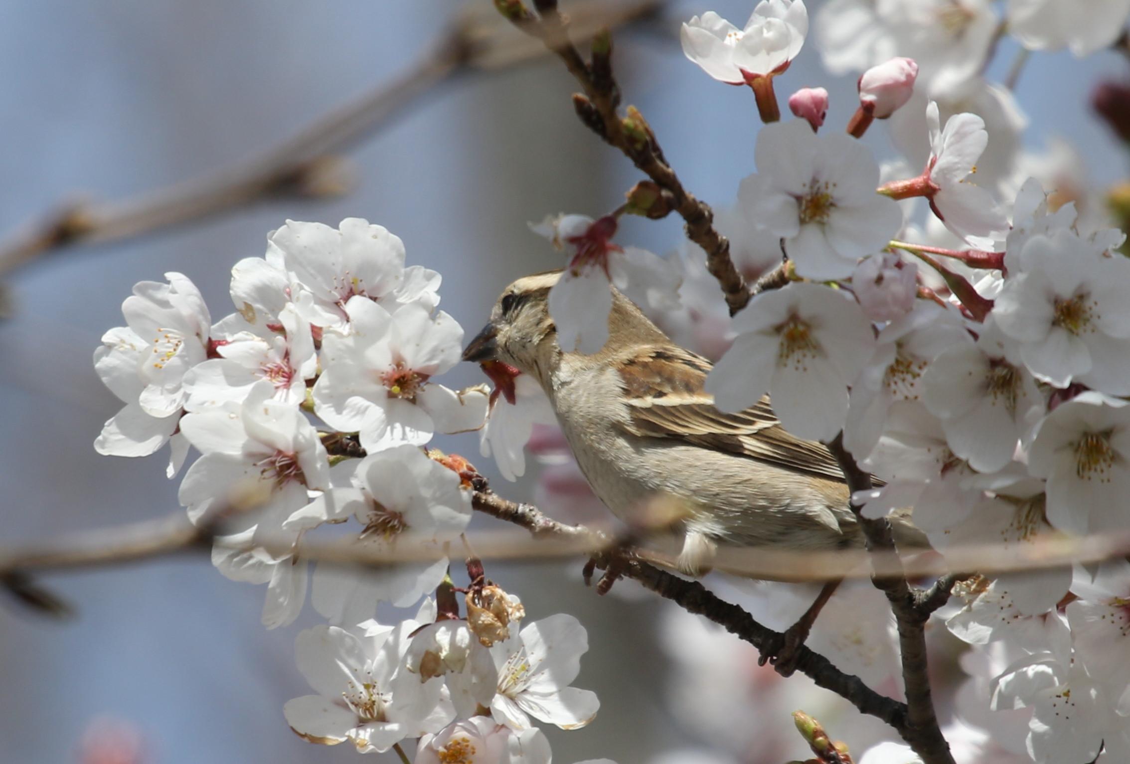 桜とニュウナイスズメ_f0239515_16514630.jpg