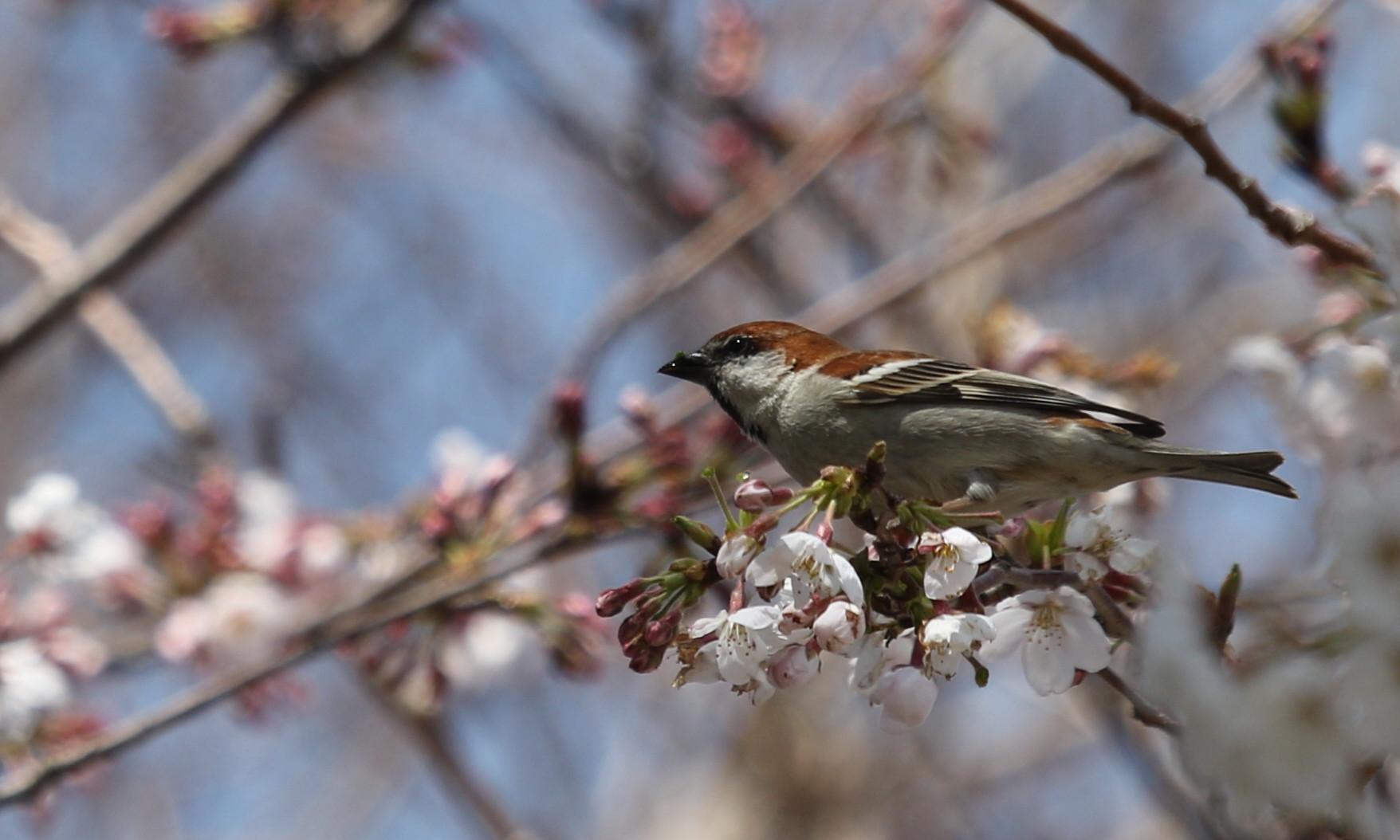 桜とニュウナイスズメ_f0239515_1746197.jpg