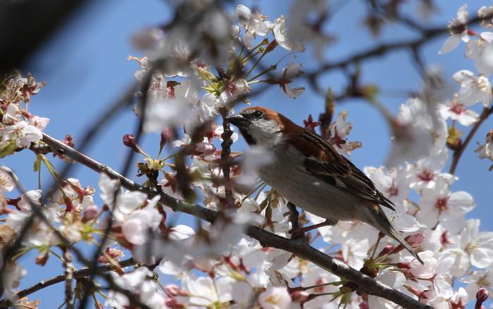 桜とニュウナイスズメ_f0239515_17472587.jpg