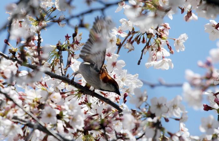 桜とニュウナイスズメ_f0239515_17481658.jpg