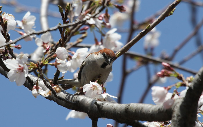 桜とニュウナイスズメ_f0239515_1748578.jpg