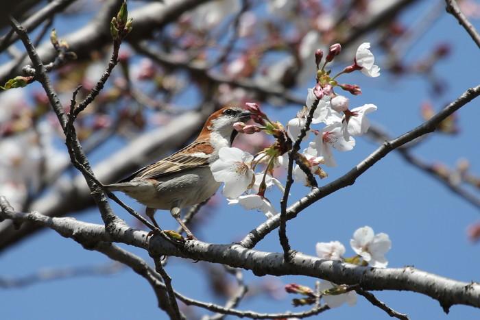 桜とニュウナイスズメ_f0239515_17492548.jpg