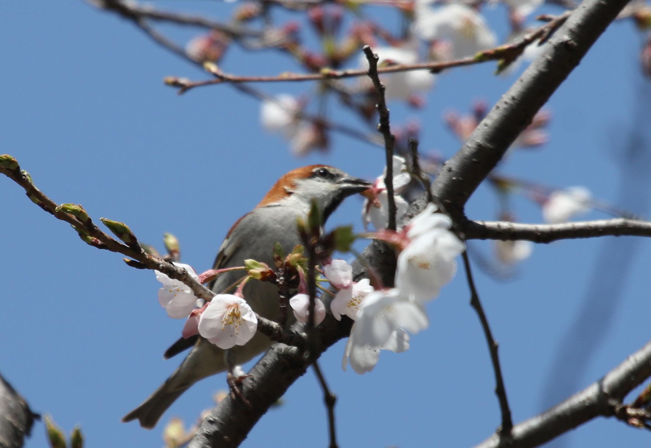 桜とニュウナイスズメ_f0239515_17495938.jpg