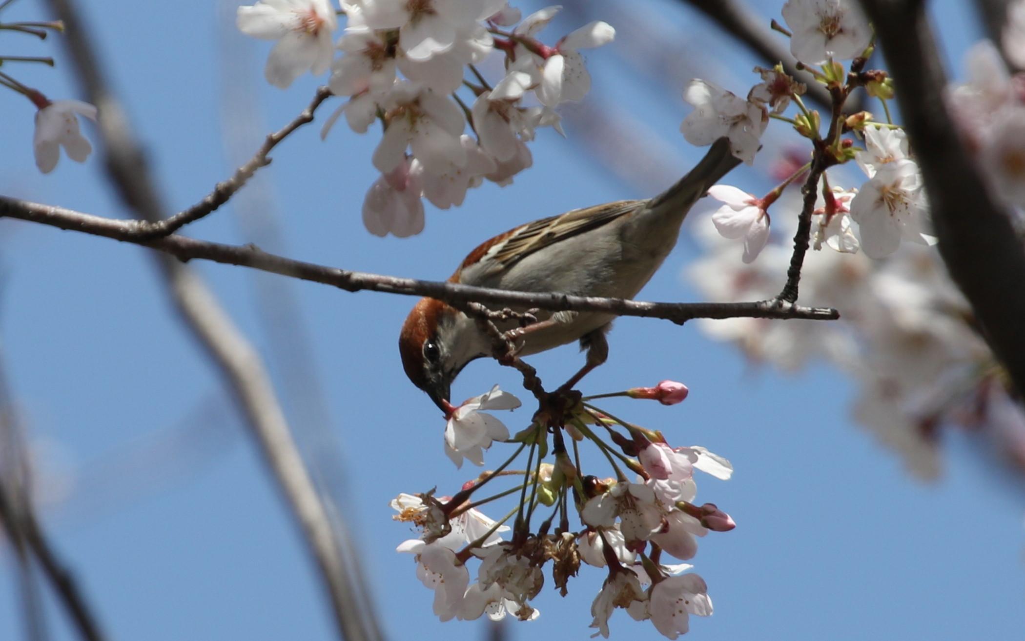 桜とニュウナイスズメ_f0239515_1751451.jpg