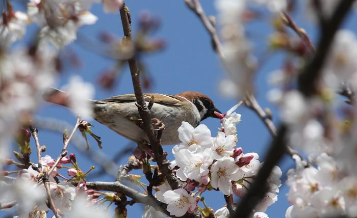 桜とニュウナイスズメ_f0239515_1754044.jpg