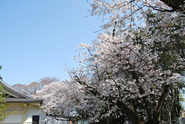 境内の桜_f0067122_10070972.jpg